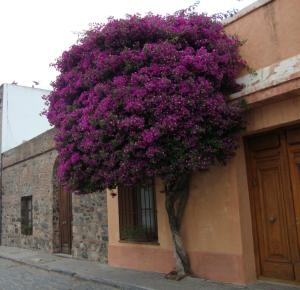As flores de Colonia del Sacramento